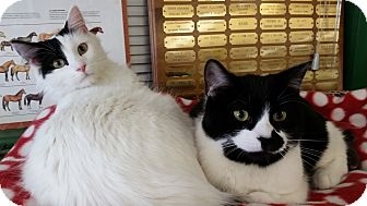 Domestic Shorthair Cat for adoption in Cannon Falls, Minnesota - Casey