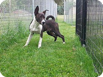 Basenji Mix Dog for adoption in Sidney, Ohio - Radar