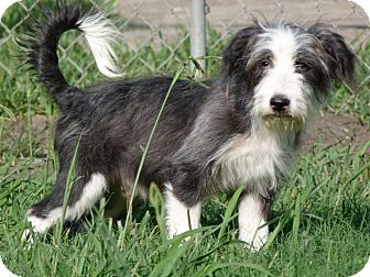 Bearded Collie/Tibetan Terrier Mix Puppy for adoption in Woonsocket, Rhode Island - Kingsley