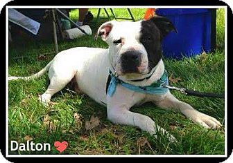 Bulldog Mix Dog for adoption in Charlotte, North Carolina - Dalton