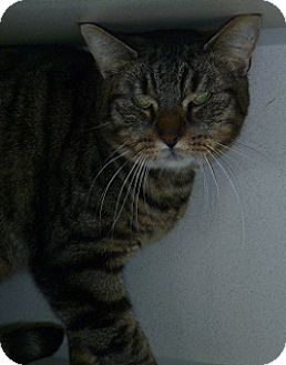 Domestic Shorthair Cat for adoption in Hamburg, New York - Alex