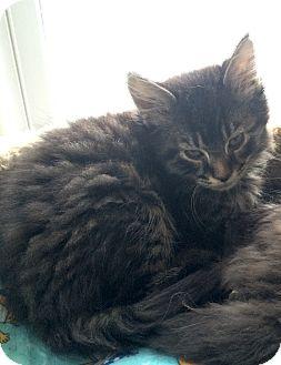 Domestic Longhair Kitten for adoption in Greensburg, Pennsylvania - Ron