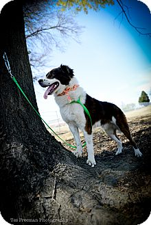 Collie Mix Dog for adoption in Muldrow, Oklahoma - Marcel