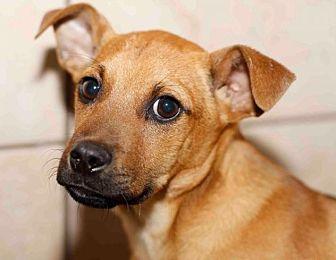 Labrador Retriever Dog for adoption in Rossville, Tennessee - Tripp