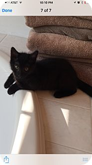 Domestic Shorthair Kitten for adoption in Jackson, New Jersey - Darth