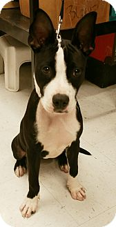 Boston Terrier/Terrier (Unknown Type, Small) Mix Puppy for adoption in Seattle, Washington - A - IZZY