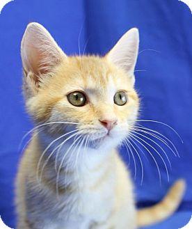 Domestic Shorthair Kitten for adoption in Winston-Salem, North Carolina - Quinn