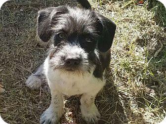 Terrier (Unknown Type, Medium) Mix Puppy for adoption in Mesa, Arizona - OREO