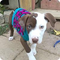 Adopt A Pet :: Cinnamon - Fredericksburg, VA