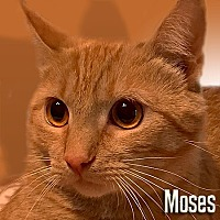 Domestic Shorthair Cat for adoption in East Stroudsburg, Pennsylvania - Moses II