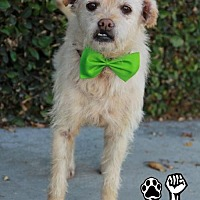 Terrier (Unknown Type, Medium) Dog for adoption in Huntington Beach, California - Stuart Little (with Riley)