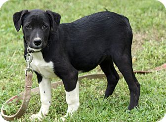 Border Collie/Labrador Retriever Mix Puppy for adoption in Windham, New Hampshire - Bentley
