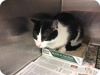 Domestic Shorthair Cat for adoption in Janesville, Wisconsin - Captain Boomerang