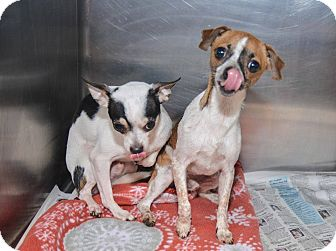 Chihuahua Mix Dog for adoption in Pittsburg, Kansas - Bandit and Tuffie