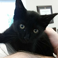 Adopt A Pet :: KITTEN Storm - Alpharetta, GA