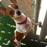 Adopt A Pet :: Nacho - Tempe, AZ