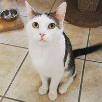 Domestic Shorthair/Domestic Shorthair Mix Cat for adoption in Hastings, Minnesota - Jack