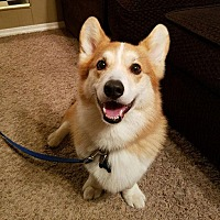Welsh Corgi Dog for adoption in Chesterfield, Missouri - Bertie