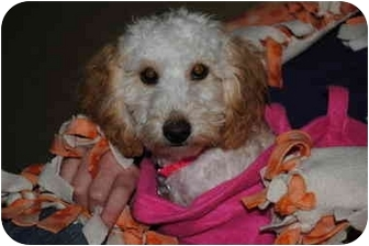 Golden Retriever/Poodle (Miniature) Mix Puppy for adoption in Bay City, Michigan - Delilah~~PENDING ADOPTION~~