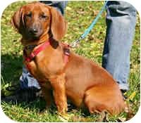Dachshund Mix Dog for adoption in Avon, New York - Hunter