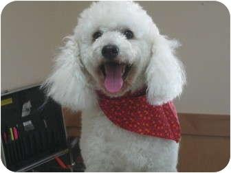 Poodle (Miniature) Dog for adoption in Sacramento, California - Monty
