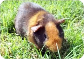 Guinea Pig for adoption in Phoenix, Arizona - Carmel