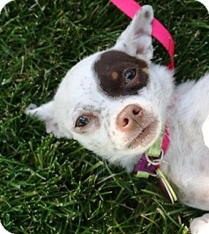Chihuahua Mix Dog for adoption in Westminster, Colorado - Patches