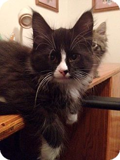 Maine Coon Kitten for adoption in Troy, Michigan - Dotel