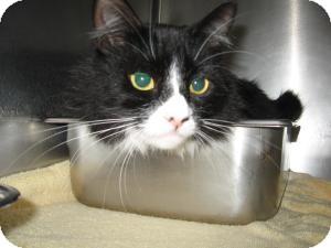Domestic Mediumhair Cat for adoption in Chambersburg, Pennsylvania - Missy