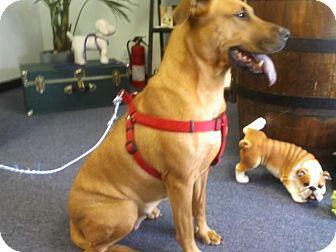 Labrador Retriever Mix Dog for adoption in hollywood, Florida - leyla