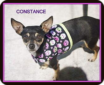 Chihuahua Mix Dog for adoption in Corpus Christi, Texas - Constance