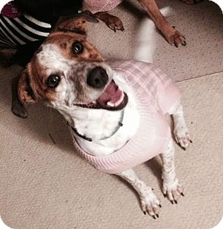 Jack Russell Terrier/Brittany Mix Dog for adoption in Franklin, Indiana - Mila