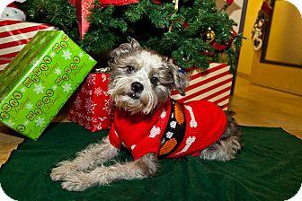 Lhasa Apso/Schnauzer (Standard) Mix Dog for adoption in Mission Viejo, California - Vinnie
