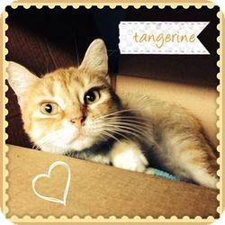 Domestic Shorthair Cat for adoption in Voorhees, New Jersey - Tangerine-PetSmart