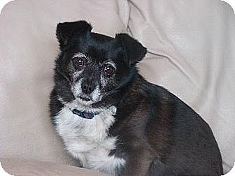 Chihuahua/Spitz (Unknown Type, Medium) Mix Dog for adoption in Morganville, New Jersey - Martha
