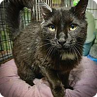 Adopt A Pet :: Mercutio - New York, NY