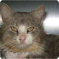 Adopt A Pet :: Adobo - Lunenburg, MA