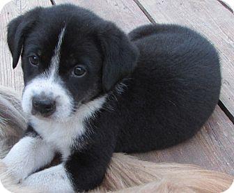Labrador Retriever Mix Puppy for adoption in Largo, Florida - Ned