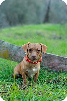 Dachshund/Jack Russell Terrier Mix Puppy for adoption in Auburn, California - Lucy Lu