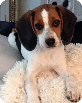 Beagle Puppy for adoption in Dallas, Texas - Dolly