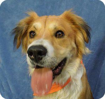 Golden Retriever/Collie Mix Dog for adoption in Charlotte, North Carolina - Finley
