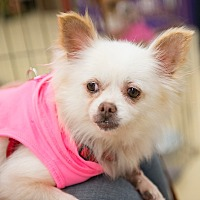 Adopt A Pet :: Sweet Pea - Grass Valley, CA