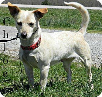 Corgi/Chihuahua Mix Dog for adoption in Lawrenceburg, Tennessee - Chloe