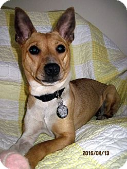 Rat Terrier Mix Dog for adoption in Topinabee, Michigan - Olive