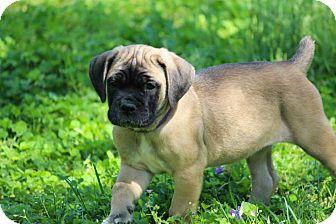 Cane Corso Puppy for adoption in Virginia Beach, Virginia - Poppy