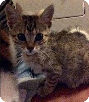 Domestic Shorthair Kitten for adoption in Hainesville, Illinois - Prada