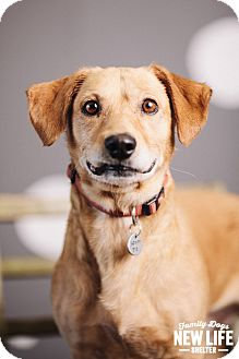 Basset Hound/Dachshund Mix Dog for adoption in Portland, Oregon - Peanut Butter