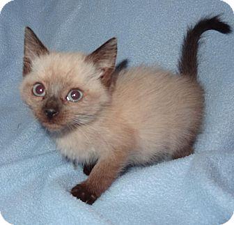 Siamese Kitten for adoption in Bentonville, Arkansas - Svetlana