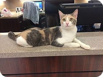 Domestic Shorthair Cat for adoption in Germantown, Tennessee - Flossie