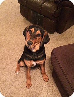Hound (Unknown Type)/Shepherd (Unknown Type) Mix Dog for adoption in New Oxford, Pennsylvania - Hope